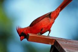 bird-3349841_1280 Protective Cardinal Blog 7.jpg
