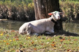 sheep-3739078_640 free picture of TV Commercial or Program for MLB blog 11 2 2018